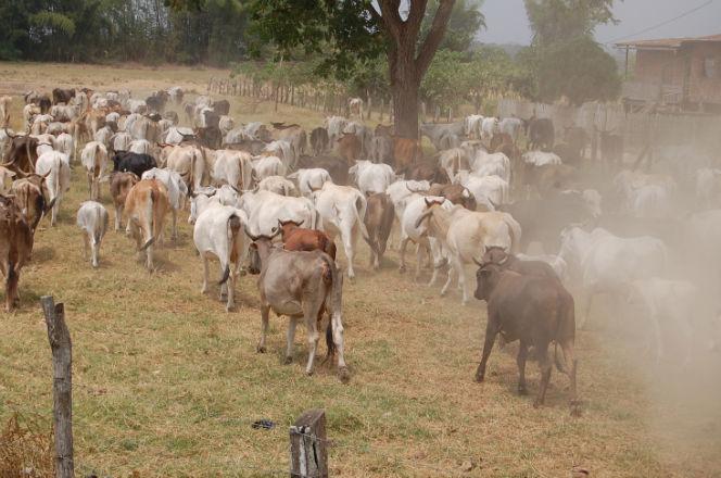 70% del ganado en Manabí está en riesgo