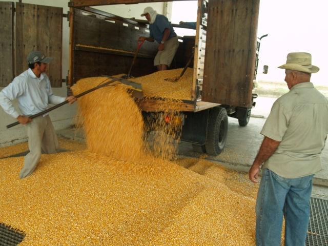Cosecha de maíz es más alta