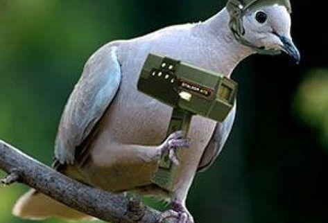 Capturan paloma mensajera que enviaba droga a presos
