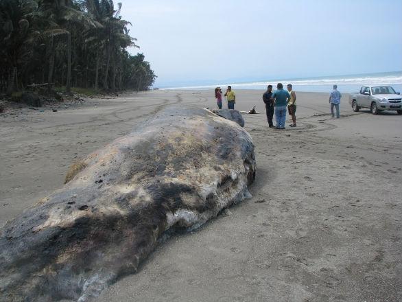 Animales marinos fueron encontrados muertos en Cojimíes