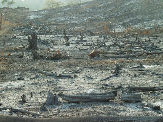 Tala indiscriminada de árboles en Manabí