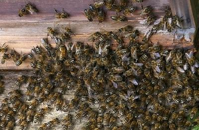 Niño pierde la vida por picadura de abejas en Ambato