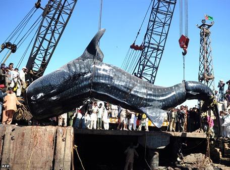 Hallan un tiburón ballena de unos 12 metros en las costas paquistaníes