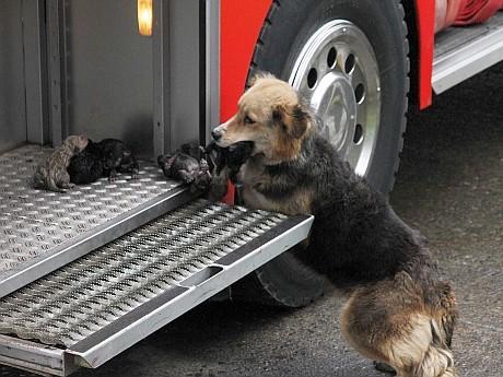 Una perra rescata a cachorros de incendio
