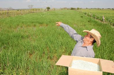 El caracol afecta a 280 hectáreas de arroz