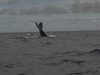 Las ballenas también llegaron a Crucita