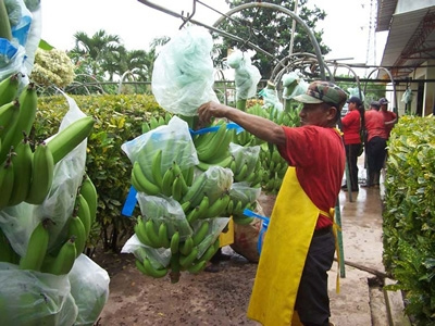 Se exportó USD 2 046 millones en banano en el 2011