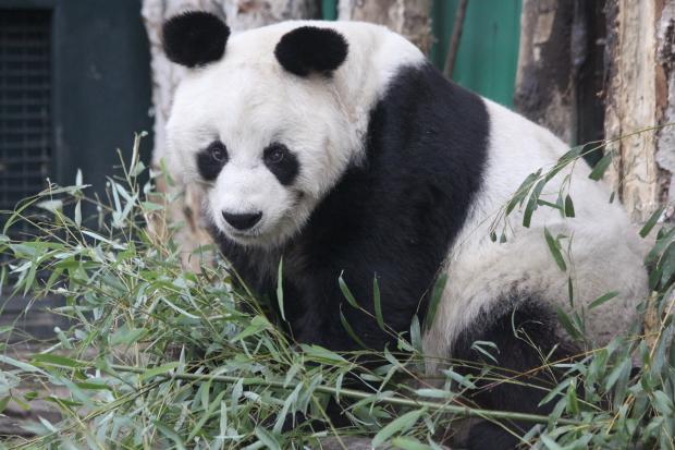 Fallece Bao Bao, el último oso panda de Berlín