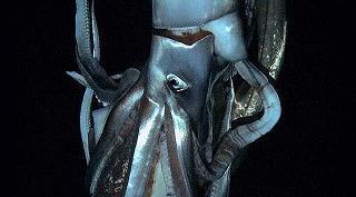 Captan primeras imágenes de un calamar gigante
