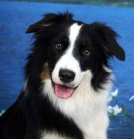 Increíble: Un perro de raza border collie logró aprender más de mil palabras