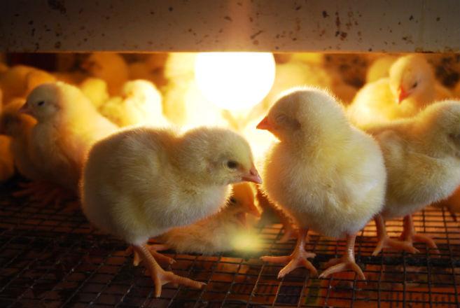 Trabajar con productos avícolas aumenta riesgos de contraer cáncer