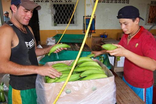 Revisarán precio de la caja de plátano