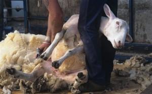 En Nueza Zelanda piden que trasquilar ovejas sea un deporte
