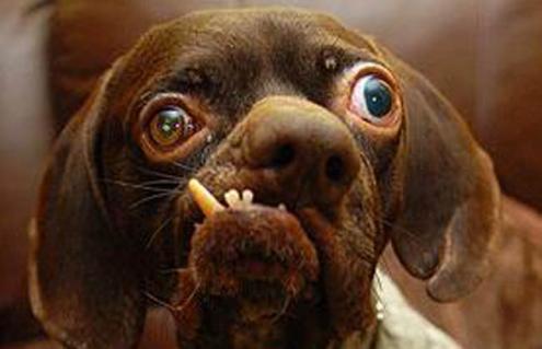 'Feito' es el perro más espantoso del mundo