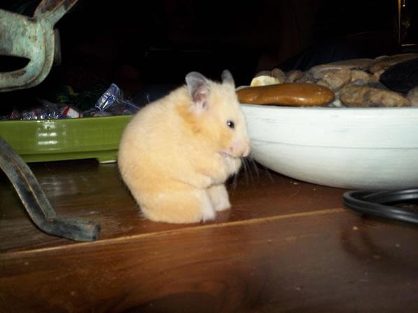 Un hamster sin patas conmueve a los internautas
