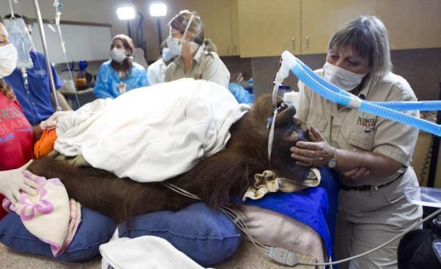 Peanut, la primera orangután en recibir quimioterapia