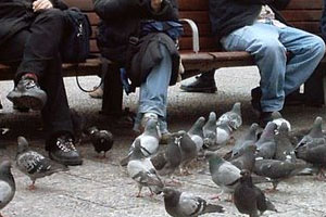 ¡Cuidado con las palomas! son aves que transportan gran cantidad de bacterias dañinas