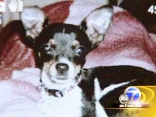 Un chihuahua perdió la vida en acto heroico para salvar la vida de niño de cuatro años