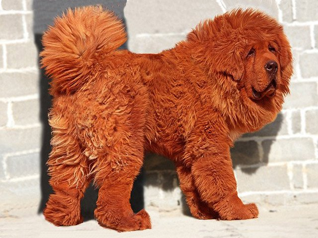 Perro de raza tibetana  fue vendido en $ 1 millón 300 mil
