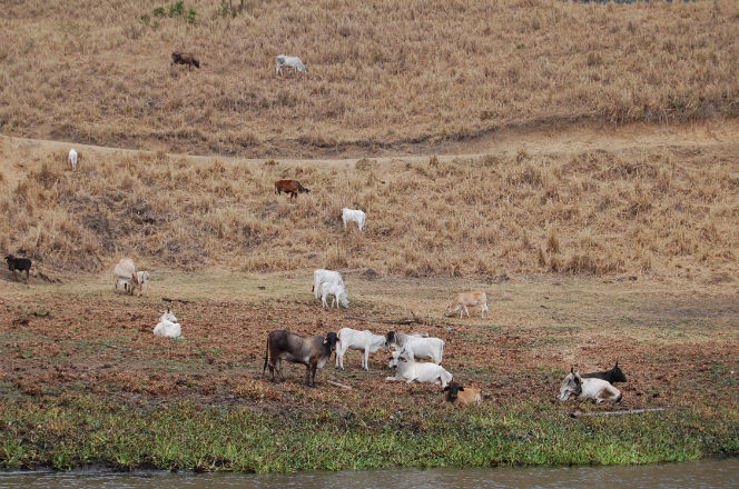 Ganaderos preocupados por la sequía en Chone, Olmedo y 24 de Mayo