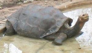 La tortuga George seguirá tan 'solitario' como siempre