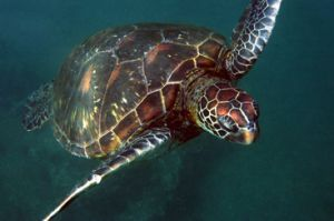 Se realiza monitoreo de tortugas marinas en Galàpagos