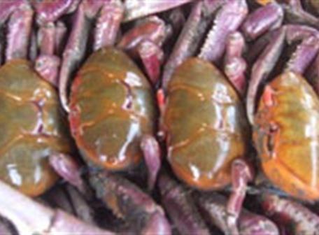 Listas las vedas del cangrejo y langosta en país