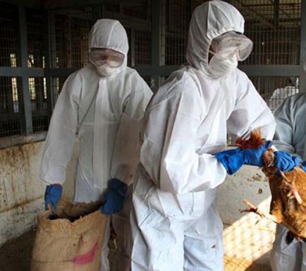 Millones de aves sacrificadas por la gripe aviar