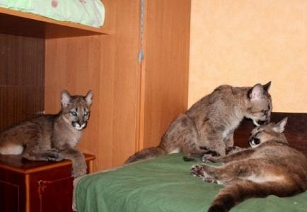 Mujer vive con tres pumas en su departamento