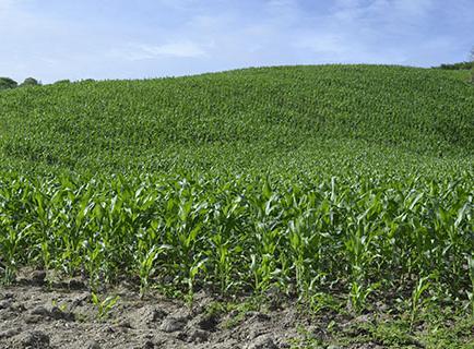 Cosecha de maíz será buena