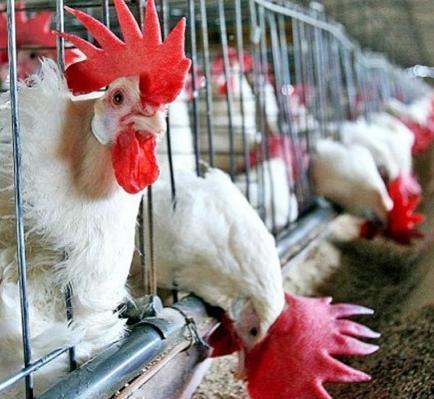 Diario insta a consumir pollo para evitar cuantiosas pérdidas por gripe aviar