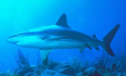 Denuncian pesca ilegal de tiburones en Nicaragua