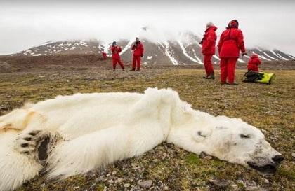 Oso polar muere por efectos del cambio climático