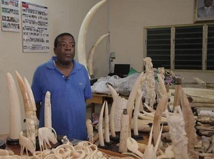 Hombre robaba los colmillos a elefantes para venderlos