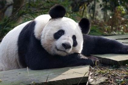 La única oso panda del Reino Unido podría estar embarazada