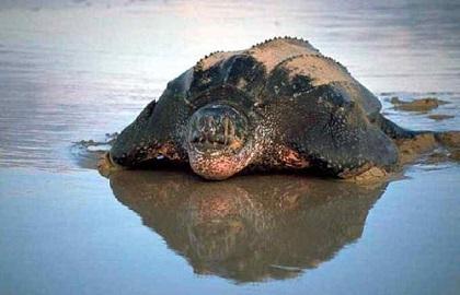 Tortuga-lagarto crea pánico tras atacar a un bañista en un lago alemán