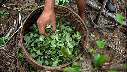 Baja el cultivo de coca en Colombia