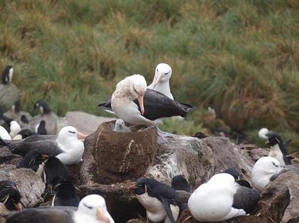 Monitorean las actividades de los albatros de la Isla de la Plata