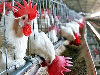 Detectado un brote de gripe aviar en una granja de gallinas de Italia