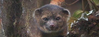 Descubren nueva especie carnívora en Ecuador: Olinguito
