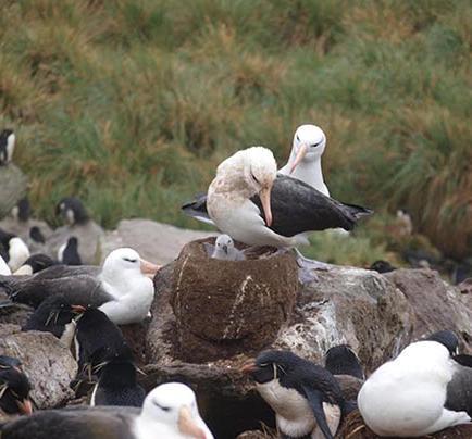Monitorean los albatros de la Isla de la Plata