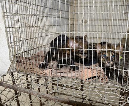 Dos 'gatos de monte' están en el centro de rescate de la ciudad