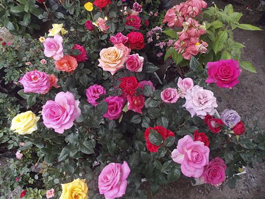 plantas ornamentales del ecuador lote de 3 arbustos de