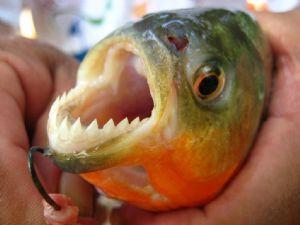 Ataque de peces carnívoros deja al menos 60 heridos