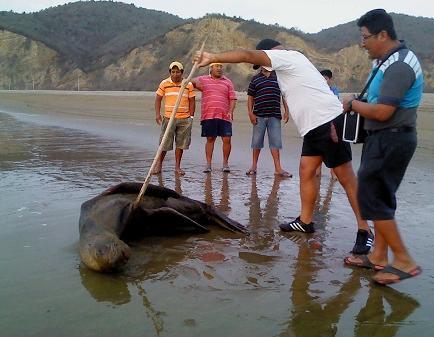 Rescatan a lobo marino en playa de Puerto López