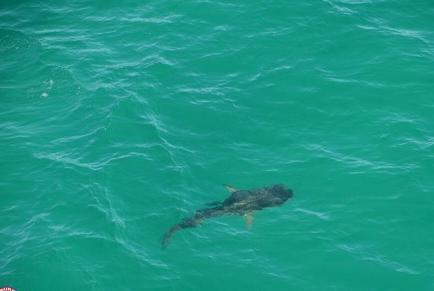 Tiburones tienen cuenta de Twitter en Australia