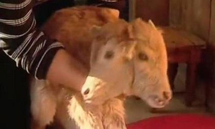 Nace una ternera con dos cabezas en el centro de Marruecos