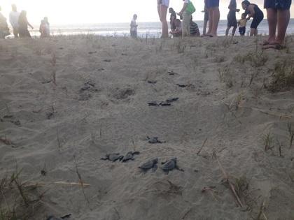 Al menos 137 tortugas verdes nacieron en Puerto López