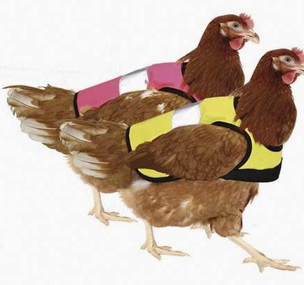Crean abrigos para proteger del frío a los pollos