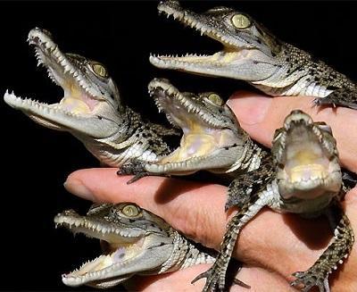 Descubren varios cocodrilos recién nacidos en una piscina pública